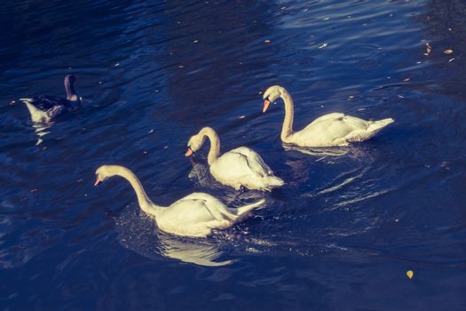 Lovely white swan live in the natural environment