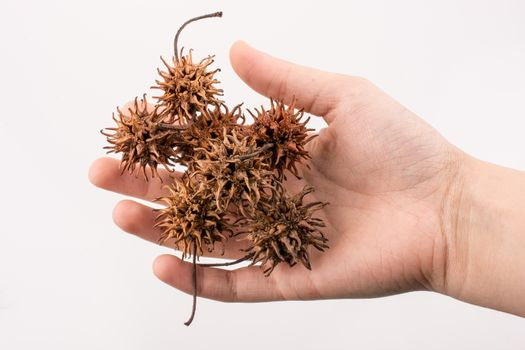 Hand holding brown pods, capsules in hand on a white background