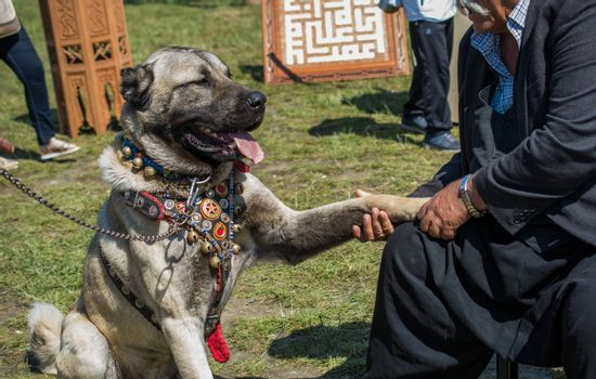 Turkish breed shepherd dog Kangal as livestock guarding dog