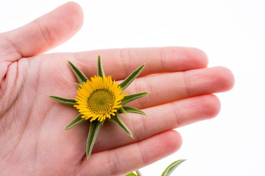Hand holding yellow sunflower on a white background