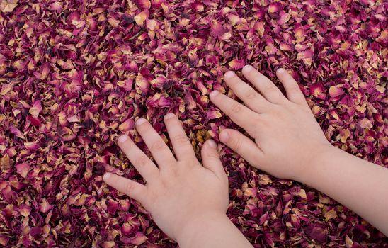 Dried rose petals  as herbal tea is under hand