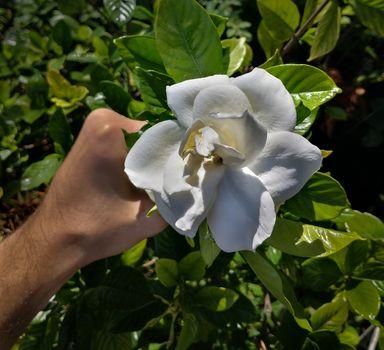 a hand of a caucasian men taking the last jasmine of the season