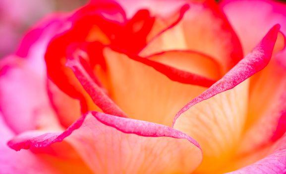 Rose in close up macro view
