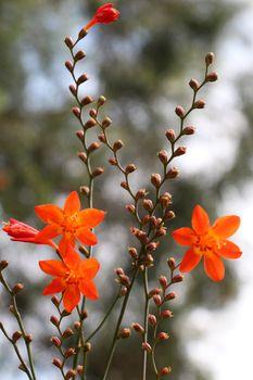 Beautiful Crocosmia flowers in nature background