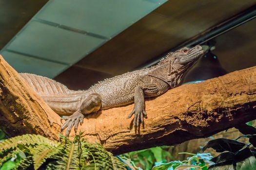 herpetoculture, closeup of a amboina sail fin lizard, tropical terrarium pet from Indonesia