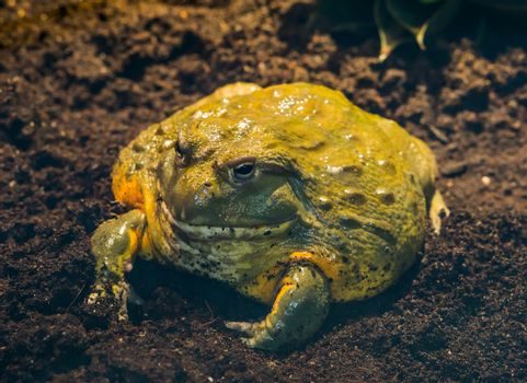 closeup of a african bullfrog, tropical big amphibian from africa