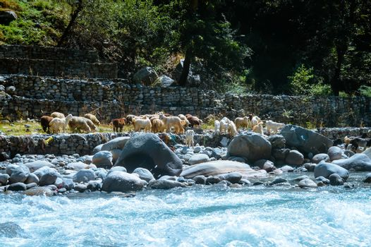 A group of Himalayan big-horned sheep goat on the lakeside of BEAS river. View of domestic herd of animal from agriculture farm of a small village of Asian Himalaya mountain valley, India, Asia.