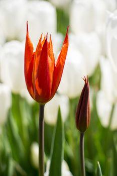 Single  Tulip Flower Blooming in Spring Season