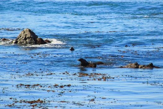 Fur seals on the coast of California, rookery marine mammals