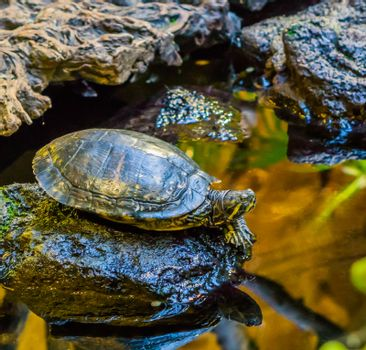 closeup of a cumberland slider turtle on a rock at the water side, popular pet from the rivers of America