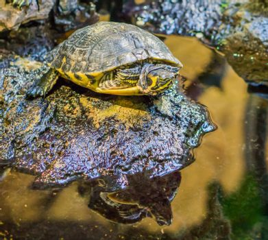closeup of a yellow bellied slider turtle on a rock, popular reptile pet from the rivers of America