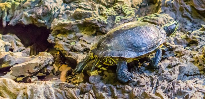 Cumberland slider turtle walking around, popular tropical pet from the wetlands of America