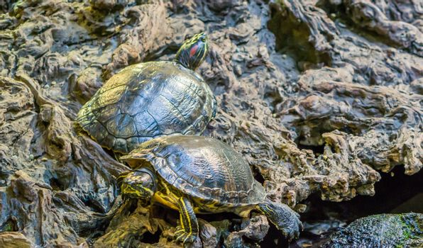 red eared slider and yellow bellied slider together in closeup, tropical reptile pets from America