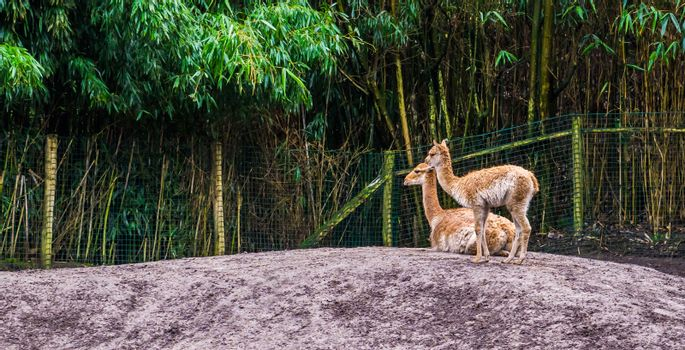 two vicunas together, vicuna a specie related to the alpaca and camel family, animals from the andes of peru