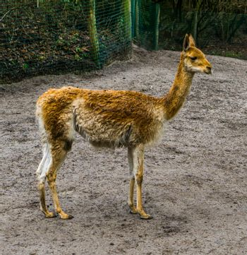 Portrait of a vicuna standing in the stand, related specie to the camel and alpaca, mountain animal from the andes of Peru