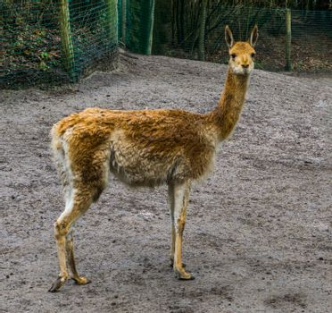 Funny vicuna looking in the camera, mountain animal from the Andes of Peru, Specie related to the camel and alpaca