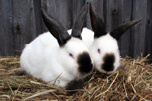 White California rabbit in the hay