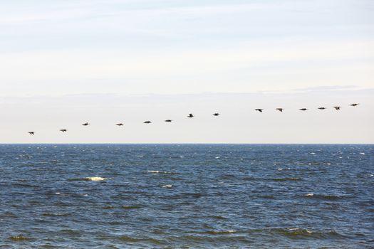 cormorants flock