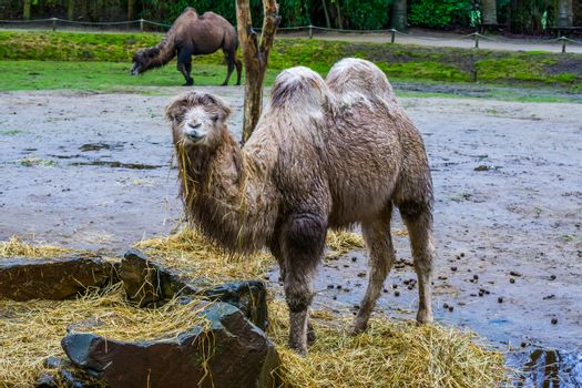 White bactrian camel with wet fur chewing on some hay, Domesticated animal from Asia