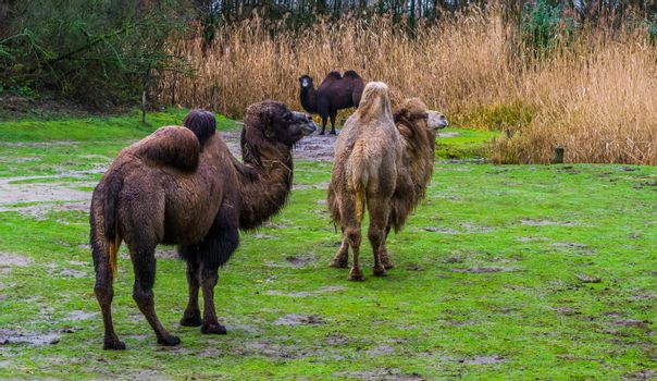 group of bactrian camels together in a pasture, Diverse colors, Domesticated animals from Asia
