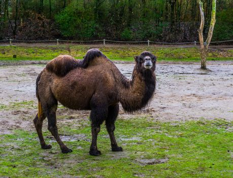 portrait of a brown bactrian camel in a pasture, domesticated animal from Asia