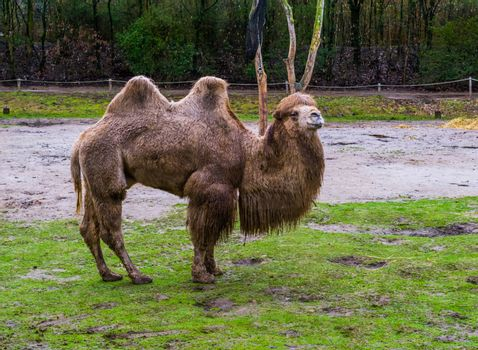 beautiful portrait of a white bactrian camel standing in a pasture, domesticated animal from Asia