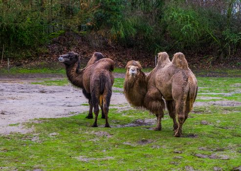 two beautiful bactrian camels together in a pasture, Domesticated animals from Asia