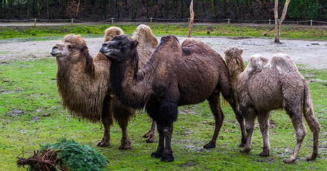 beautiful family portrait of bactrian camels in diverse colors, Domesticated animals from Asia