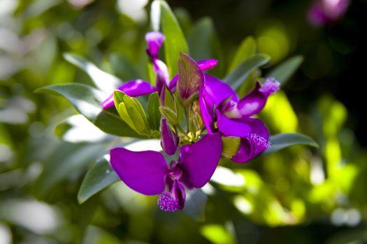 Purple flowers of the Polygala myrtifolia.