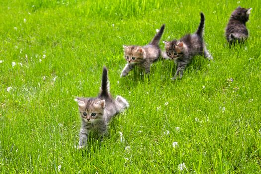 Group of furry little kittens walking on the grass
