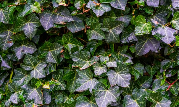 close up of common ivy growing on a wall, natural botanic background
