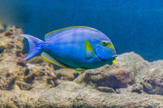 yellow fin surgeon fish, a tropical and colorful fish from hawaii