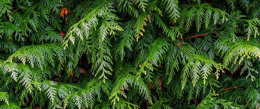 pattern of green conifer leaves in macro closeup, natural garden background