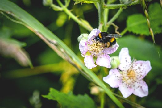 Bumblebee on a white flower in a garden with green plants