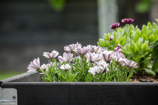 Garden flowers in  black wooden box in the summer looking beautiful with green leaves