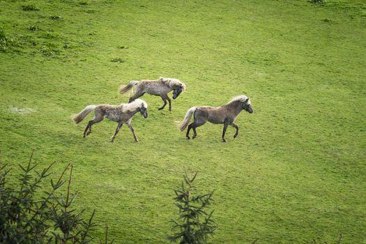 Three horses with blonde mane running wild