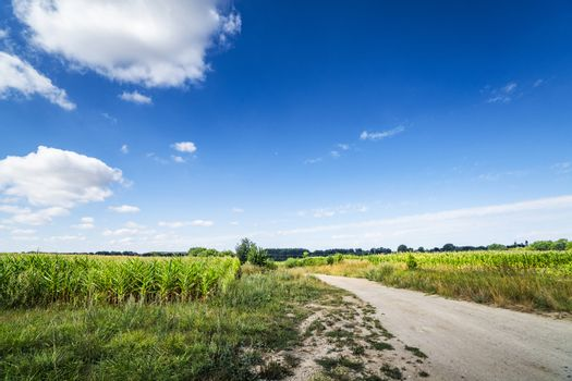 Countryside landscape with a path going through corn fields under a blue sky in the summer