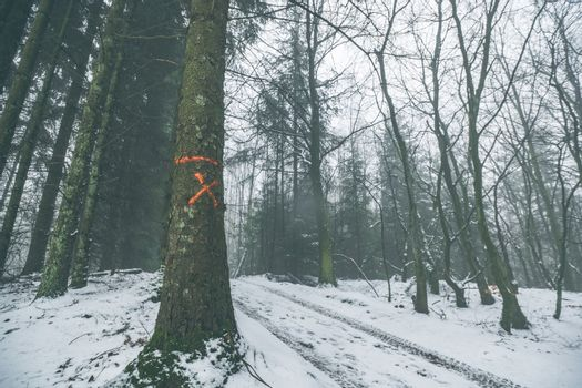 Tree marked for forestry in a misty forest