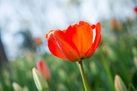 Fresh tulip of orange color in nature in spring time