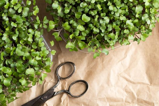 Broccoli and kale microgreens with scissors and copy space