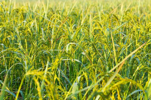 Rice grains in rice fields