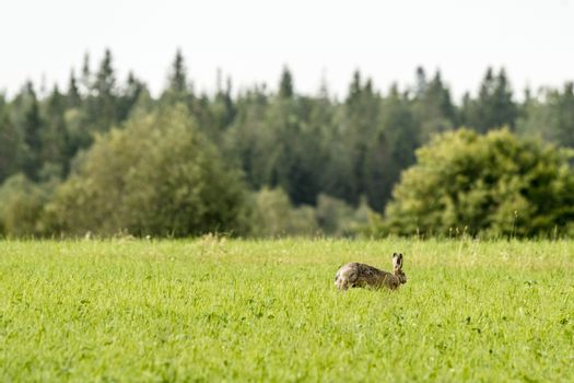 Hare on a green meadow in the spring