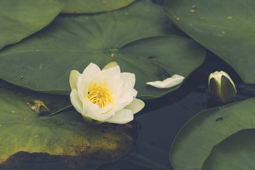 Waterlily blooming with a white flower on large green leaves on the water