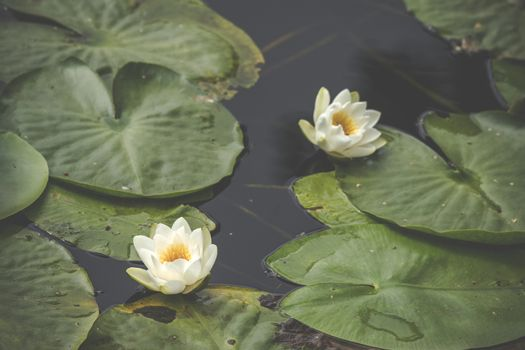 White lily flowers in calm and dark water with large green leaves floating on the water