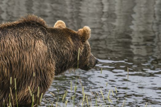 Bear fishing by the water with great patience looking out over the water