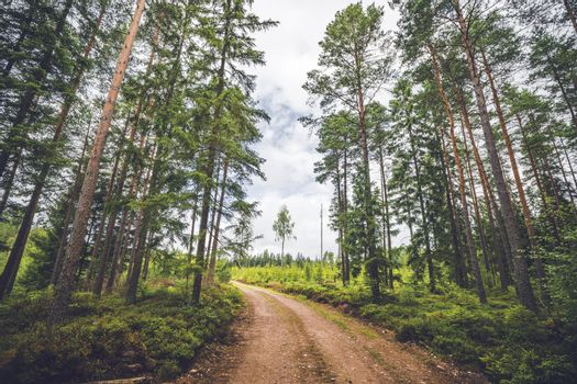 Dirt road running through a pine tree forest in the summer with tall green trees