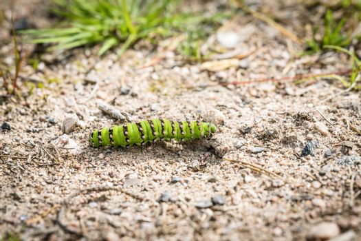 A Small Emperor Moth caterpillar passing a trail with sand in the swedish nature
