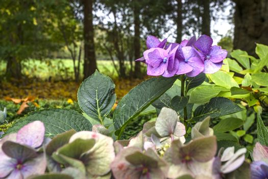 Hortensia flowers in violet colors in a garden