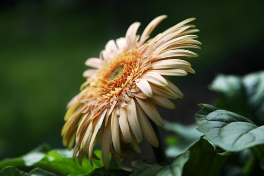 Yellow Gerbera Daisy on Natural Green Background