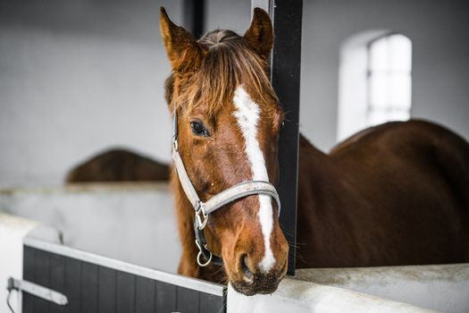 Brown horse with a grime in a white stable